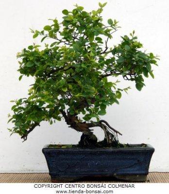 C mo pinzar las ramas y hojas de un bons i - Cultivo del bonsai ...