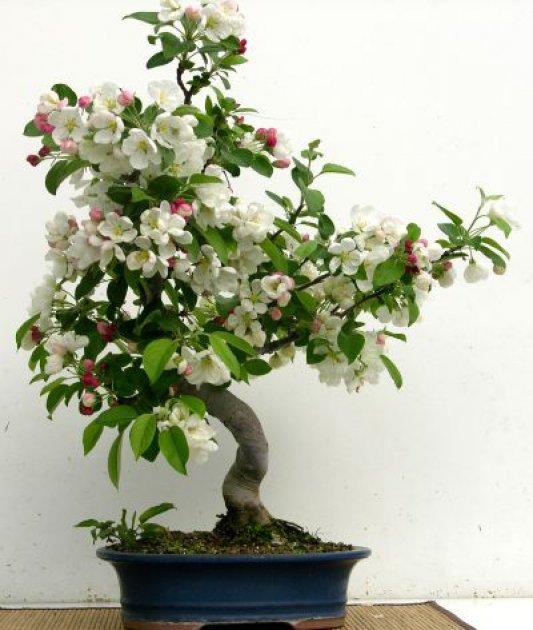 El bons i manzano un peque o rbol frutal - Cultivo de bonsai ...