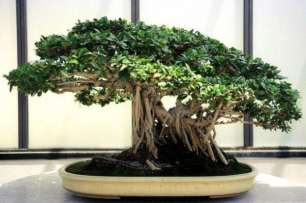 El Ficus Bonsái Cuidados Y Mantenimiento