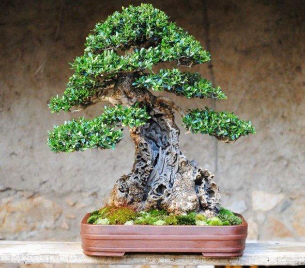 El cultivo del olivo bons i - Cultivo del bonsai ...